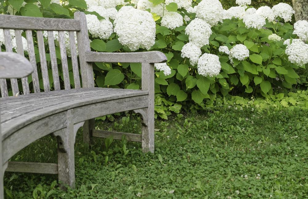 Garden curve Wooden bench by white hydrangeas, summer in eastern Maine-1.jpeg
