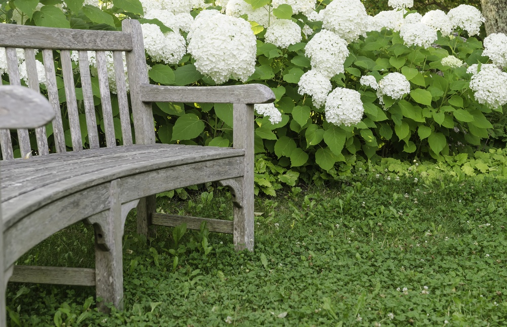 Garden curve Wooden bench by white hydrangeas, summer in eastern Maine-1.jpeg